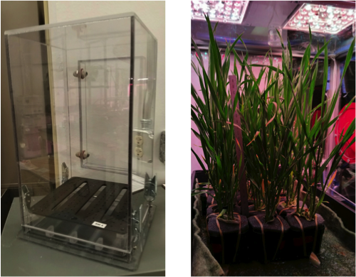 New plant chamber with root tray and BioChar screening test with 20 day old wheat plants